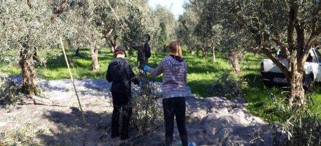Με καλούς οιωνούς ξεκινά η συγκομιδή της ελιάς στην Αιτωλοακαρνανία