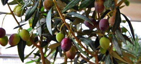 Καιρός και δάκος απειλούν τις ελιές στην Πελοπόννησο