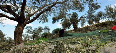 Καμία αποζημίωση στους παραγωγούς της Κρήτης για τις ζημιές στην ελαιοπαραγωγή