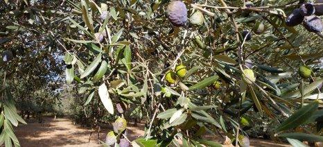 Η ανομβρία πλήττει σοβαρά την παραγωγικότητα των ελιών στην Αιτωλοακαρνανία