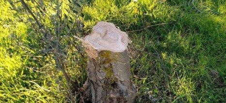 Αδίστακτοι μέρα μεσημέρι κόβουν ελαιόδεντρα για να τα πουλήσουν ως καυσόξυλα