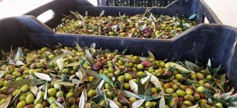 Ποιες ποικιλίες ελιάς προτείνει για καλλιέργεια στην Αιτωλοακαρνανία η Ένωση Αγρινίου