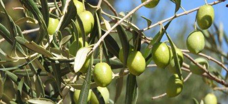Ξεκίνησε η συγκομιδή για το ελαιόλαδο των Αγίων Αποστόλων Λακωνίας - Πώς θα επιδράσουν στην τιμή τα περσινά αποθέματα