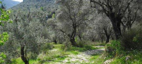 Αίτημα για ένταξη των ελαιοκαλλιεργητών Λακωνίας σε ΠΣΕΑ από την αντιπεριφερειάρχη