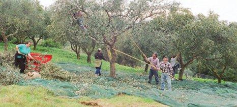 Πρώιμα ξεκίνησε η συγκομιδή της ελιάς στη Ζάκυνθο λόγω του δάκου και της κακοκαιρίας