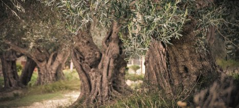 Την καταγραφή της μείωσης της παραγωγής στις ελιές της Κρήτης ζητά ο ΣΕΔΗΚ, για να υποβληθεί αίτημα αποζημίωσης