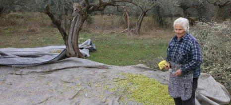 ΕΛΓΑ: Διαδικασία συνολικής εκτίμησης ζημιών Ιανουαρίου για τις ελιές Λακωνίας