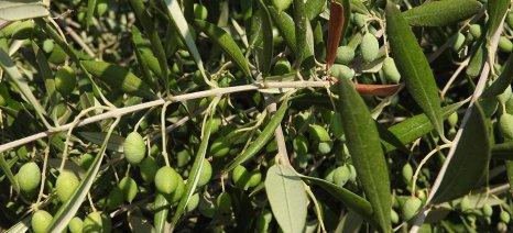 Στους 85.000 τόνους εκτιμά τη φετινή παραγωγή ελαιολάδου ο ΣΕΔΗΚ στην Κρήτη