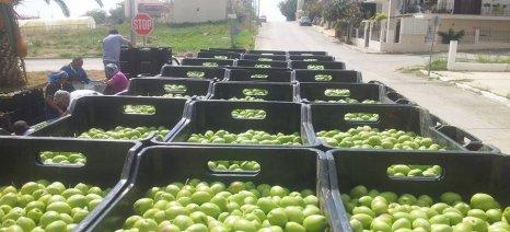 Μειωμένες οι φετινές τιμές στις ελιές Χαλκιδικής, από 0,65 έως 0,75 ευρώ το κιλό ο μέσος όρος