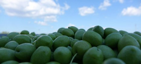 Σε κανονικά επίπεδα επιστρέφει η παραγωγή πράσινης ελιάς Χαλκιδικής
