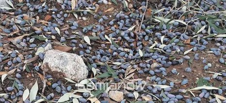Εκτεταμένες ζημιές στην ελαιοπαραγωγή του δήμου Λοκρίδας Φθιώτιδας από το χαλάζι