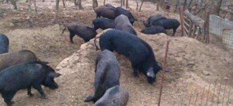Η Περιφέρεια Κεντρικής Μακεδονίας ζητά αυστηρή τήρηση μέτρων βιοασφάλειας για την Αφρικανική Πανώλη των χοίρων