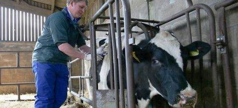 Πάνω από 3.000 βοοειδή εμβολιάστηκαν ήδη στον Έβρο για οζώδη δερματίτιδα