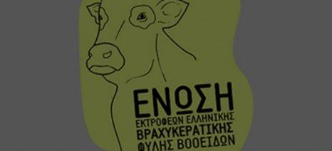Ζητείται άμεση οικονομική στήριξη των εκτροφών Ελληνικής Βραχυκερατικής Φυλής Βοοειδών