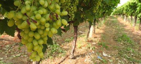 Η οργάνωση Ηρακλείου του ΚΚΕ καταγγέλει τις χαμηλές τιμές παραγωγού στα σταφύλια