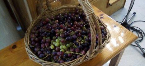 Με τις ευλογίες του Μητροπολίτη η πρώτη σοδειά σταφυλιών στην Καρυδιά Ροδόπης