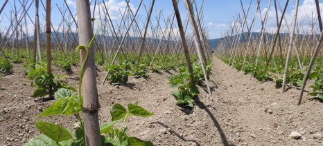 Στο 30-40% εκτιμάται η απώλεια παραγωγής στα φασόλια Πρεσπών