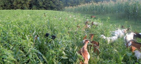 Πολλαπλά οφέλη από την καλλιέργεια κτηνοτροφικών φυτών