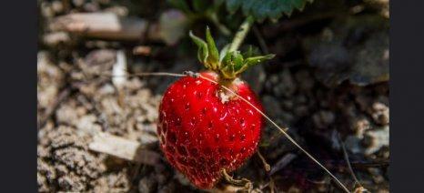 Σε εξέλιξη οι εξαγωγές φράουλας, με βασικές αγορές την Ιταλία και τη Γερμανία