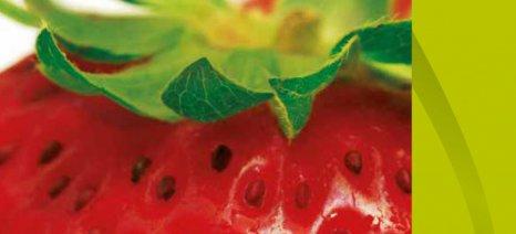 Ορθές καλλιεργητικές πρακτικές για τη φράουλα από τη Syngenta