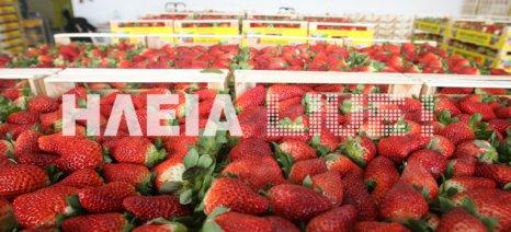 Η φράουλα, ένα από τα πιο ισχυρά  εξαγώγιμα προϊόντα