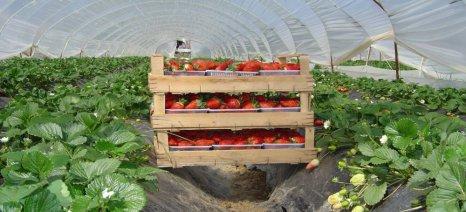 Οι παραγωγοί φράουλας στην Ηλεία φέτος έχασαν το πλεονέκτημα της πρωιμότητας