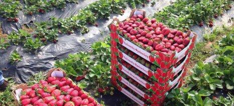 Μεγαλύτερη η ζήτηση για φράουλες στη Γερμανία σε σχέση με την προσφορά