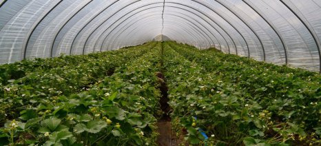 """Οι παραγωγοί φράουλας, λόγω βιβλίων, θέλουν τώρα το εργόσημο, αλλά οι εργάτες γης απαιτούν """"μαύρα"""""""