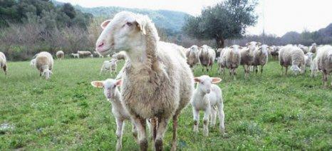 Γενετική βελτίωση του προβάτου Φριζάρτα και διαχείριση κτηνοτροφικών εκμεταλλεύσεων