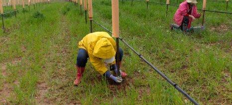 Ο τελικός κατάλογος με τις βαθμολογίες των αιτούντων άδειας νέων φυτεύσεων αμπελιών