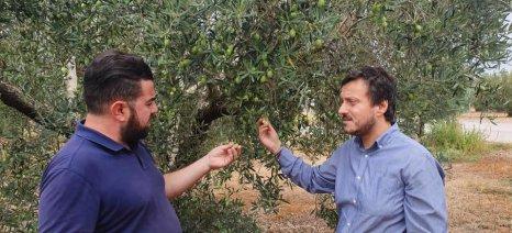 Σε απόγνωση οι ελαιοπαραγωγοί της Χαλκιδικής: Χαμηλή ποιότητα και χαμηλή τιμή, μετά τη θεομηνία