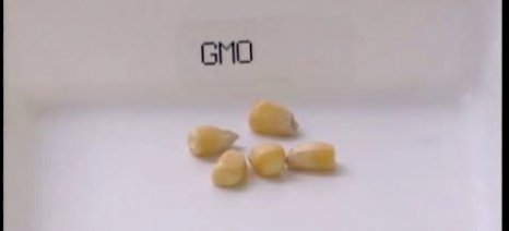 Αίτημα Ελλάδας προς Ε.Ε. για εξαίρεση από την καλλιέργεια γενετικά τροποποιημένου καλαμποκιού
