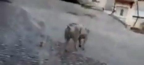 Ένα γουρούνι βγήκε... βόλτα στους δρόμους της Κοζάνης