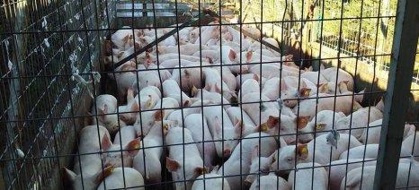 Αίτημα ιδιωτικής αποθεματοποίησης χοιρινού κρέατος μπορεί να υποβληθεί για 90,120 ή 150 ημέρες