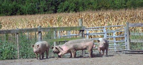Απογοήτευση από την Copa-Cogeca για τη μη ενεργοποίηση της αποθεματοποίησης χοιρινού κρέατος