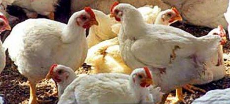 Τα πανωτόκια πνίγουν την πτηνοτροφία – πρωθυπουργική παρέμβαση ζητά η ΠΕΟΠΠ