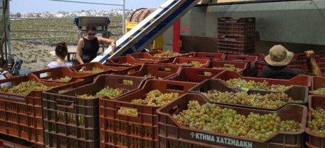 Κατά δέκα μέρες πρωιμότερος ο τρύγος στη Σαντορίνη σύμφωνα με τους οινολόγους του οινοποιείου Χατζηδάκη