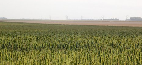 Τι περιλαμβάνει η ΚΥΑ για τη βιομηχανική κάνναβη - Τι πρέπει να προσέξουν οι καλλιεργητές