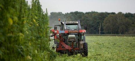 Με… κόμπους η Υπουργική Απόφαση για την καλλιέργεια κλωστικής κάνναβης