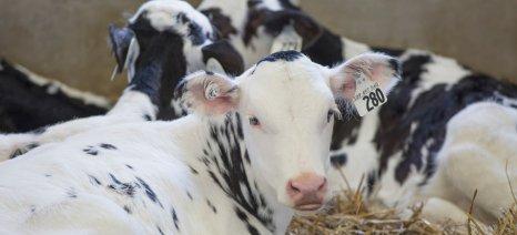 Σκωτσέζικο ντους των γαλακτοβιομηχανιών προς τους παραγωγούς καταγγέλει η ΕΦΧΕ