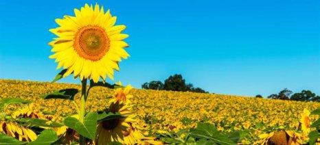 Ημερίδα στη Λιβαδειά για τη συμβολαιακή καλλιέργεια ηλίανθου