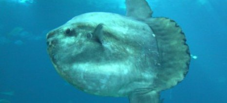 Επικίνδυνο ψάρι στα νερά του Αώου