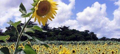Μελέτη αποκαλύπτει γιατί και πώς τα ηλιοτρόπια ακολουθούν τον ήλιο