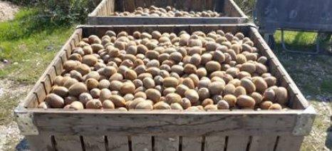 Οδεύουν σε νέο ρεκόρ οι εξαγωγές ακτινιδίων – αυξημένα ποσοστά για εσπεριδοειδή αγγούρια, μήλα