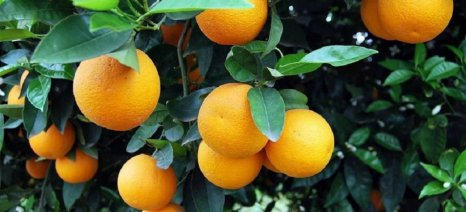 Ξεκίνησαν έλεγχοι για ζημιές από παγετό στα πορτοκάλια Άρτας