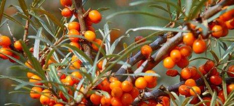 Ιπποφαές: Μια καλλιέργεια με μέλλον για τη θεσσαλική γη