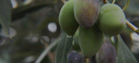 Σαλμάς καλεί Γεωργούδη για τα προβλήματα στον τομέα της βρώσιμης ελιάς