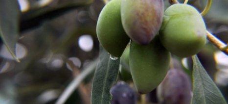 Αποσύρει από τα ράφια της η Σλοβενία όλες τις συσκευασίες που γράφουν «Kalamata Olives»
