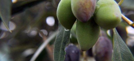 Κατά 170% αυξήθηκε η παγκόσμια κατανάλωση επιτραπέζιας ελιάς από το 1990