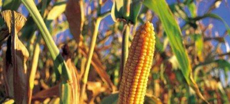 Παραλαβή και διάθεση καλαμποκιού από τους αγροτικούς συνεταιρισμούς Καρδίτσας και Καλαμπάκας